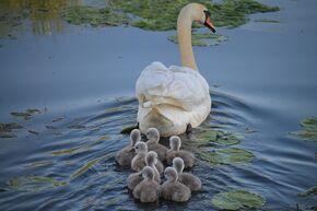 Swan-