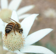 Bee on Flannel Flower