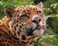 750px-Jaguar at Edinburgh Zoo
