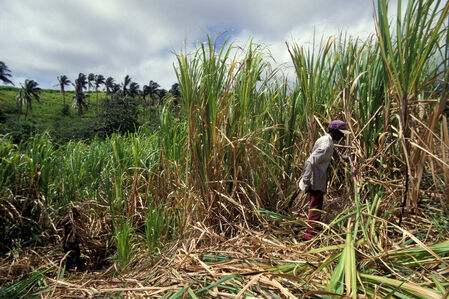 Guyana sugar canefield