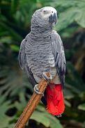 American Grey Parrot
