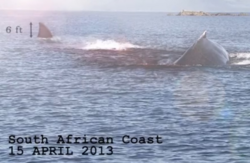 Megalodon-Wal-Angriff-Suedafrika