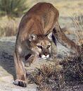 Cougar-04