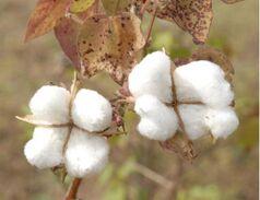 Cotton 1041830f