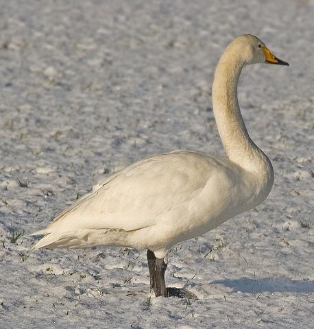 File:Whooper swan.png