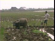 663652422-guangdong-plowing-buffalo-animal-paddy-field