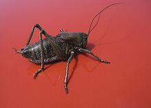 Mormon cricket