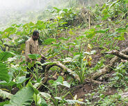 Cameroonian taro farmer
