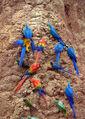 427px-Parrots at a clay lick -Tambopata National Reserve, Peru-8c