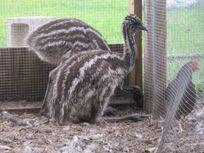 Raising-emu