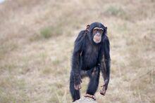 Chimpanzee-DieEpidemie.png