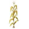 Goldencornplant2
