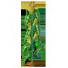 Cornplant2