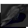 Cawingharvestcrowblack