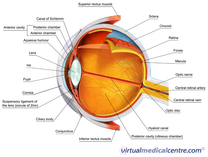 Eye amazing science wiki fandom powered by wikia 2133 eye anatomy label v2 700 ccuart Images