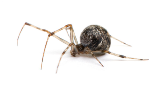 File:Common House Spider Beneficial Spiders In Home 1349460964