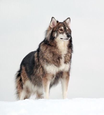 File:Cross-breed-dog-50 605.jpg