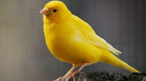 Canary singing ~ Canary Bird song