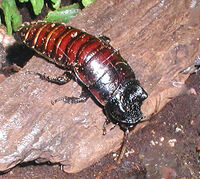 Madagascan.hissing.cockroach.750pix