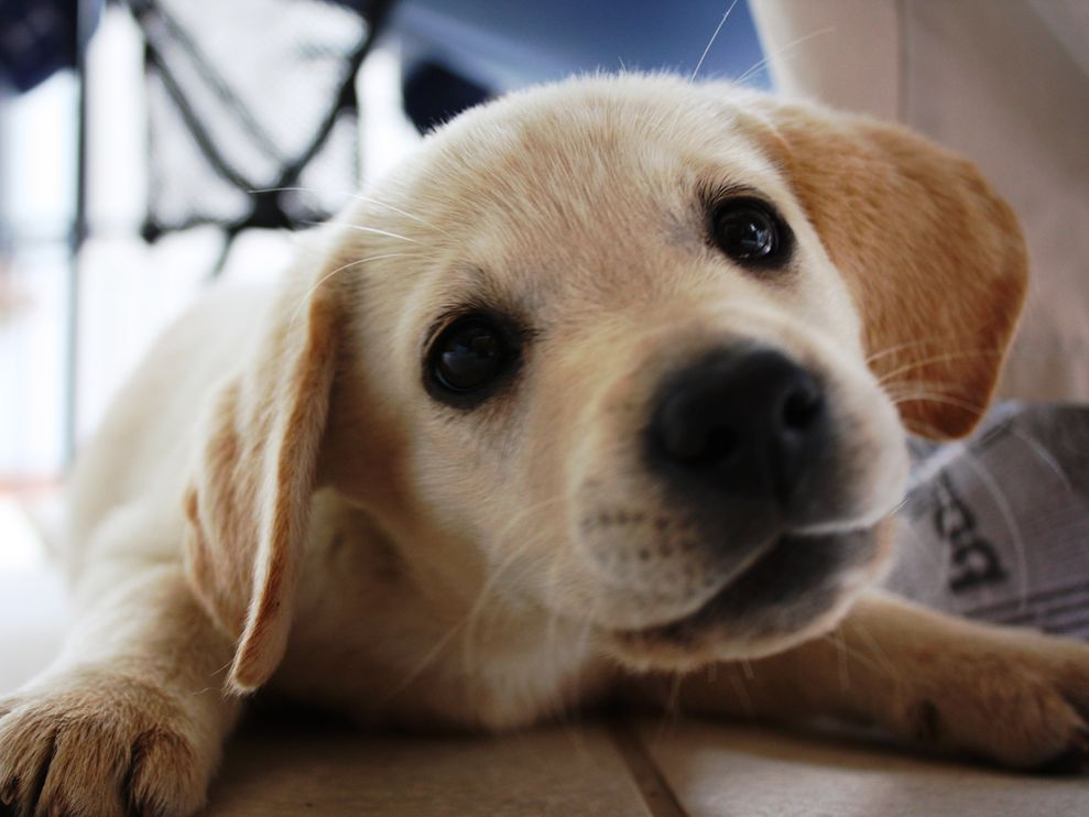 Image Golden Labrador Puppy 34708 990x742jpg An Awesome Girl