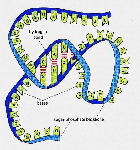 File:RNA.jpg