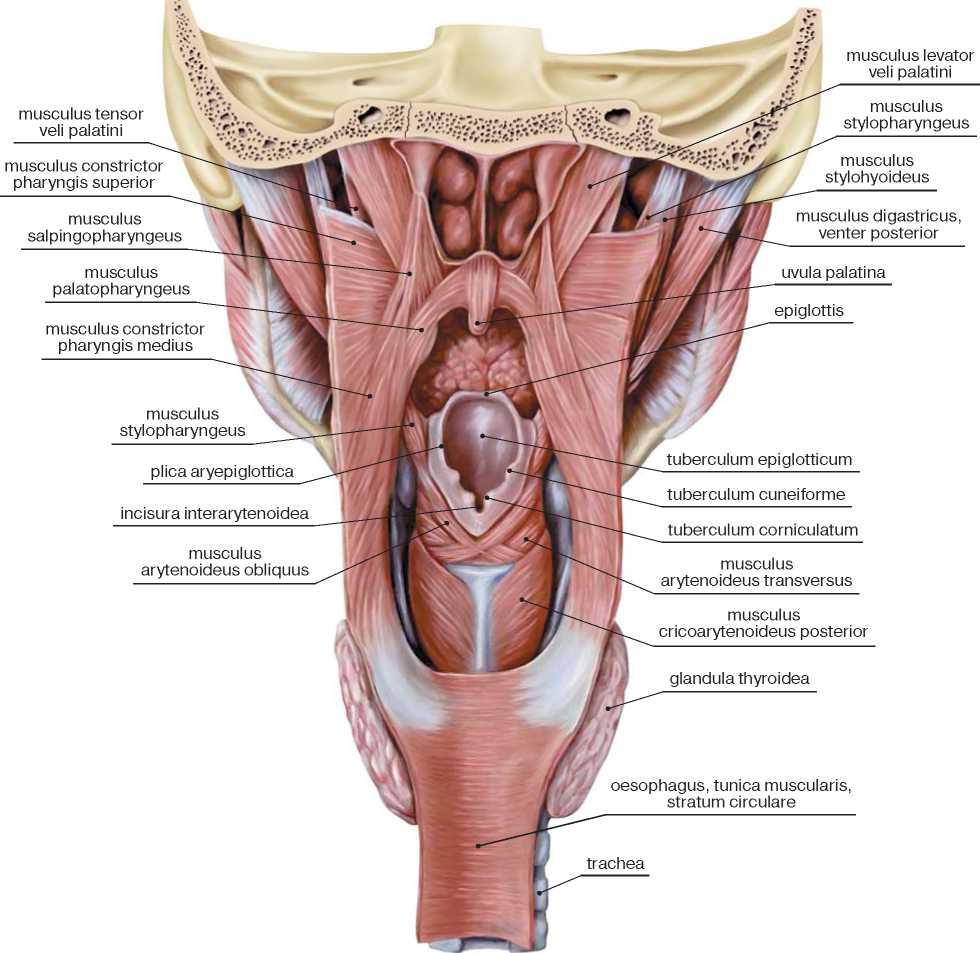снимок четкий строение гортани человека фото давно