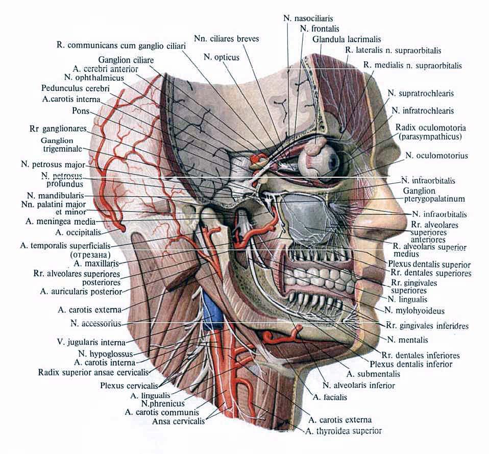Nervus Facialis Anatomy Images - human body anatomy