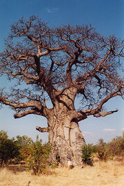 Baobob tree