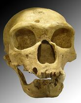 470px-Homo sapiens neanderthalensis