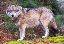 Evelandwolf