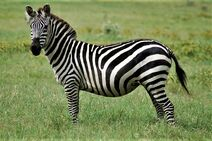 Tigerhorse