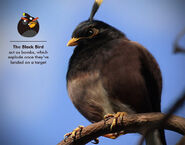 Black-bird bomber explore-Angry-Birds-in-Real-Life
