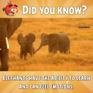Angry Birds Friends Elephant Fun Fact