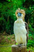wikipedia:Philippine eagle