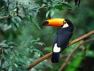 Animals Birds Toco Toucan 005475