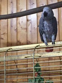 Попугай Ивана