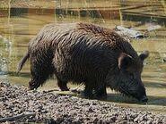 275px-Ausgewachsenes Wildschwein beim Suhlen