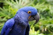 7793798-blue-hyacinth-macaw-parrot-in-its-natural-environment