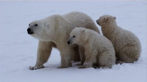 Untamed Americas - Polar Bear Survival