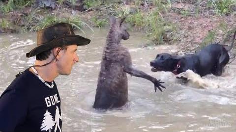 Kangaroo Tries to Drown Dog!