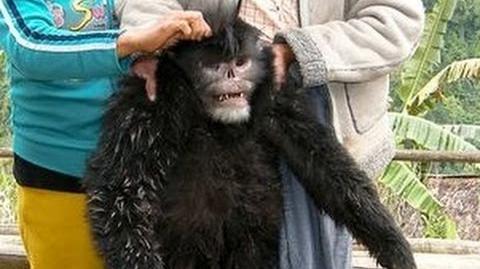New Species Discovered - Sneezing Monkey