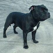 220px-Staffordshire Bull Terrier 600