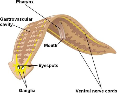 Flatworm Anatomy Diagram Wiring Diagram Electricity Basics 101