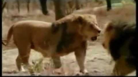 Lion vs tiger 2012 fights