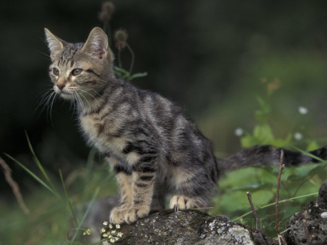image adriano bacche9lla european brown tabby kitten sitting on