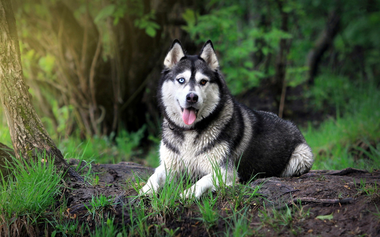 image siberian husky wallpaper hd 130808 1440x900 2 jpg animal