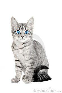 Cute-blue-eyed-tabby-kitten-thumb15377349