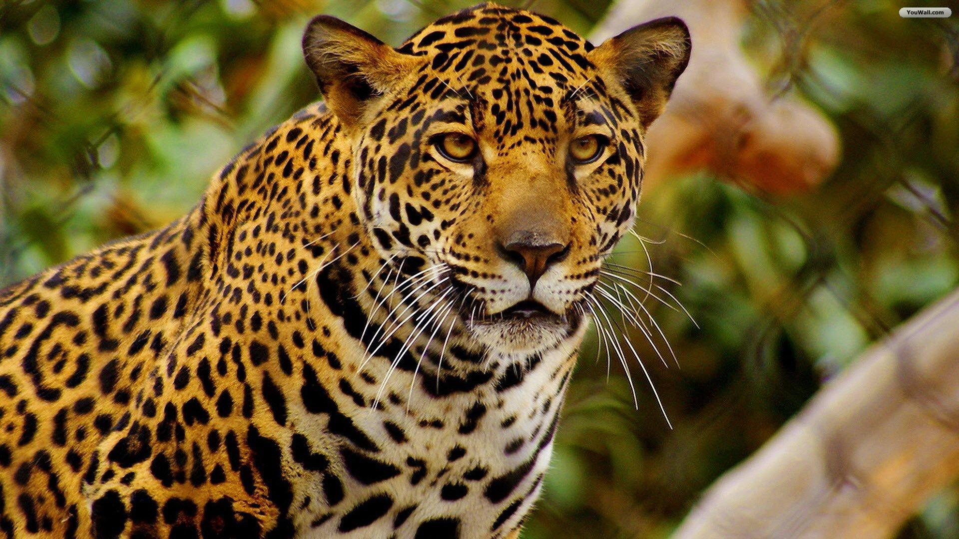 image jaguar 04 jpg animal jam clans wiki fandom powered by wikia