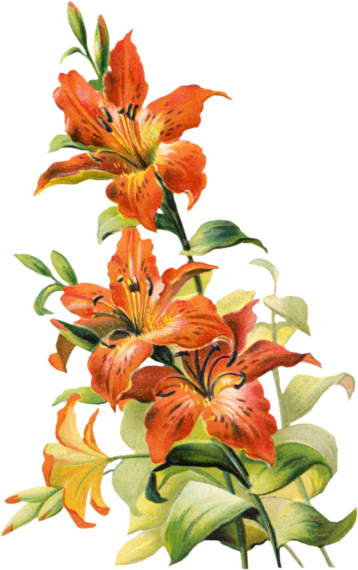 Image Tiger Lily Flower Clipart Free Clip Art Images Zda1r7