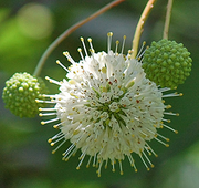 Buttonbush Down